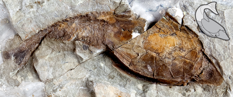 A fossil heterostracan, Errivaspis waynensis, from the early Devonian (approximately 419 million years ago) of Herefordshire, UK. Image from Keating et al. 2018
